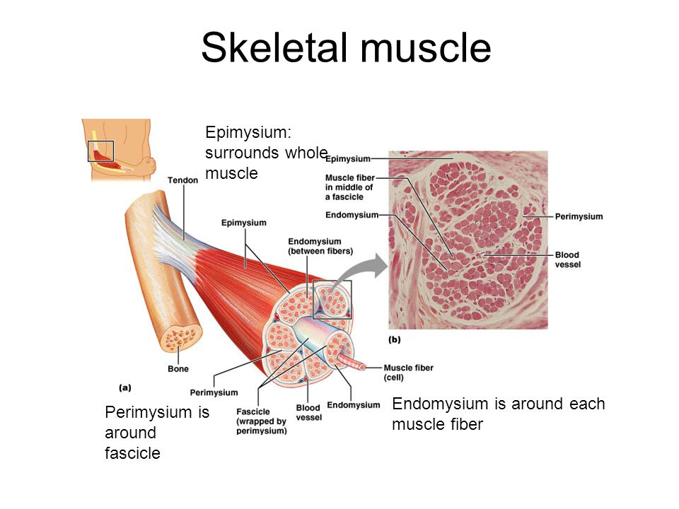 Skeletal muscle Epimysium: surrounds whole muscle