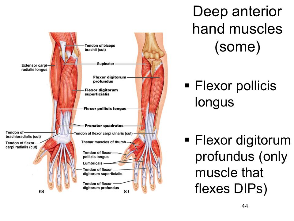 Deep anterior hand muscles (some)