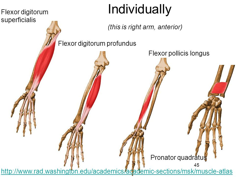 Individually Flexor digitorum superficialis