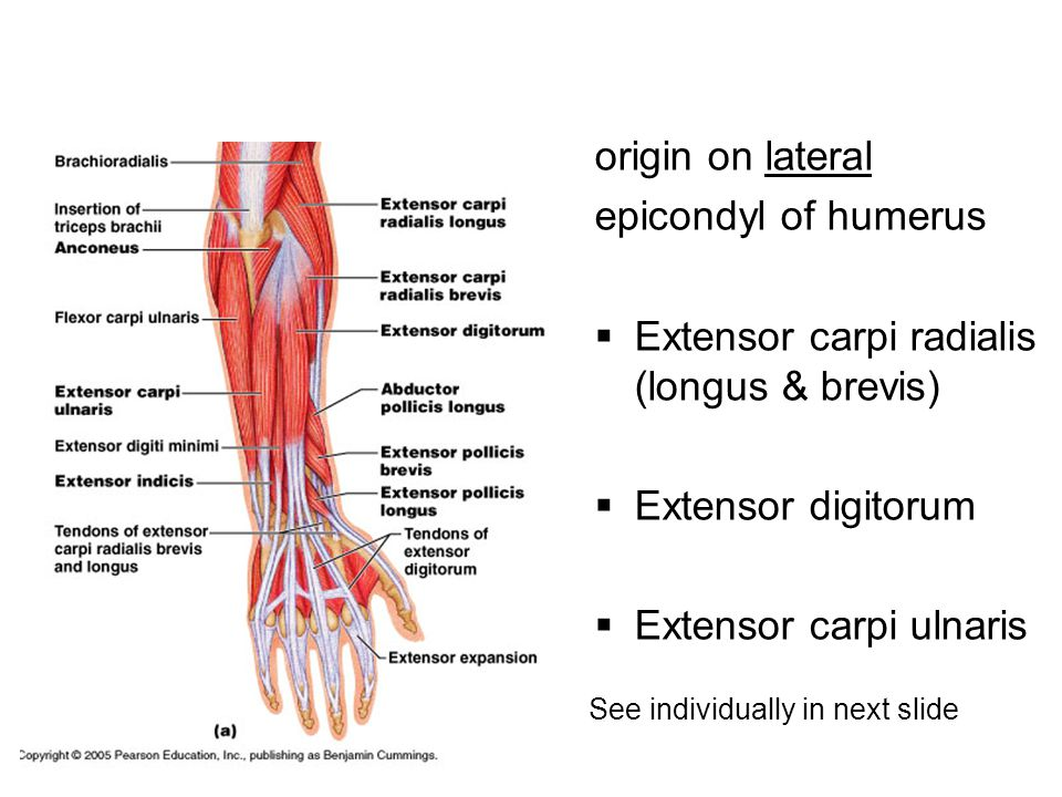 Extensor carpi radialis (longus & brevis)