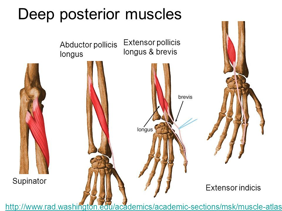 Deep posterior muscles