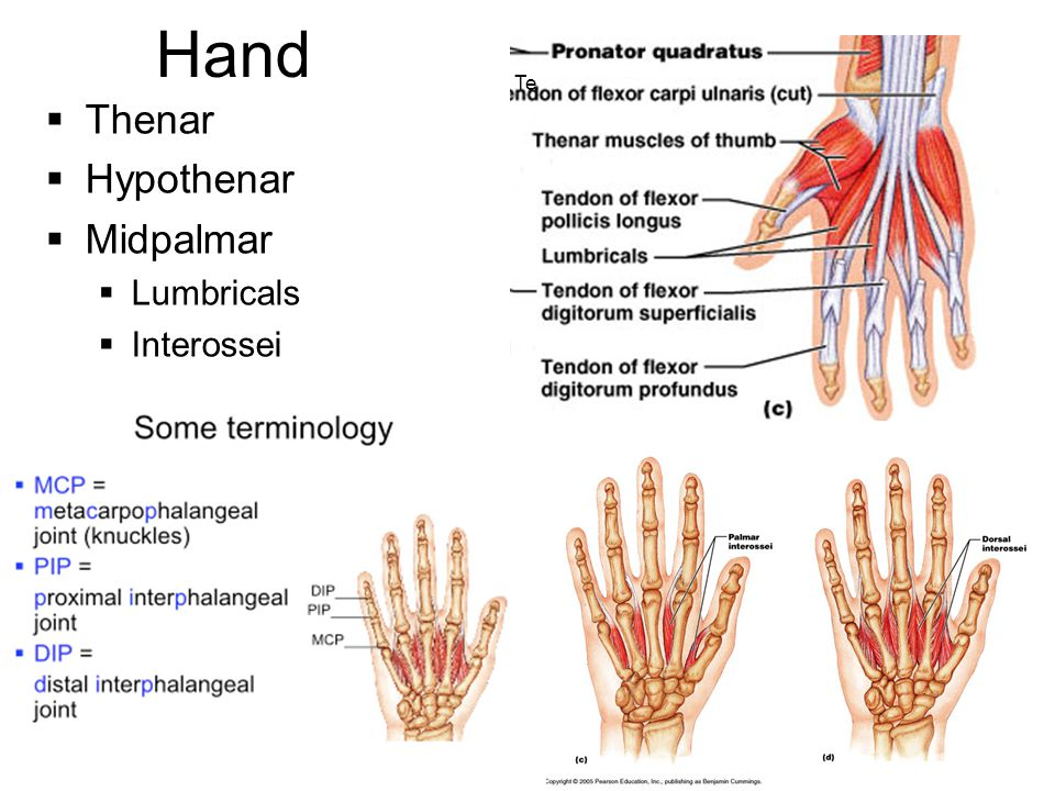 Hand Te Thenar Hypothenar Midpalmar Lumbricals Interossei