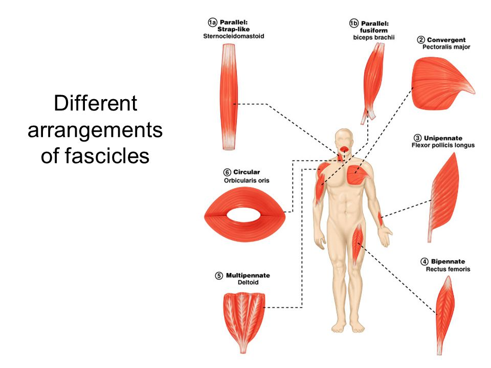 Different arrangements of fascicles