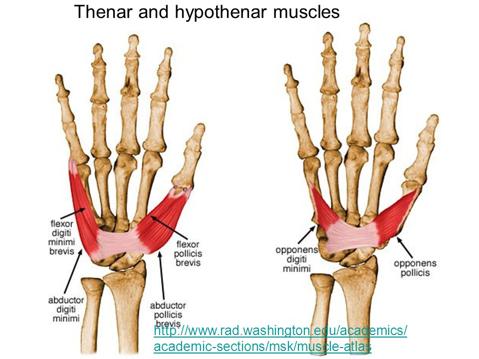 Thenar and hypothenar muscles
