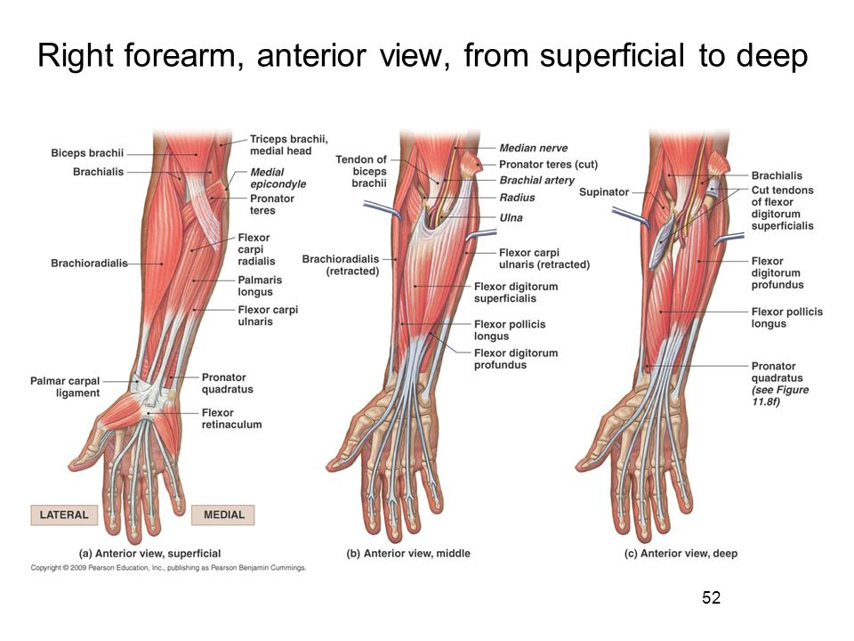 Right forearm, anterior view, from superficial to deep