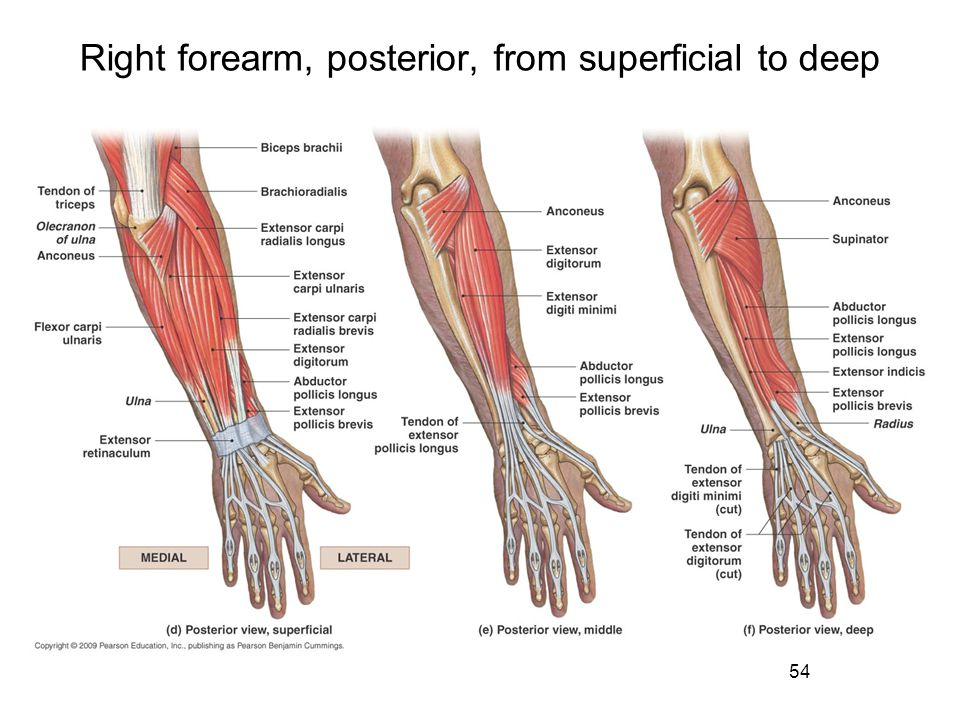 Right forearm, posterior, from superficial to deep