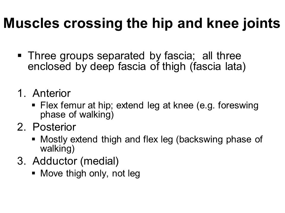 Muscles crossing the hip and knee joints