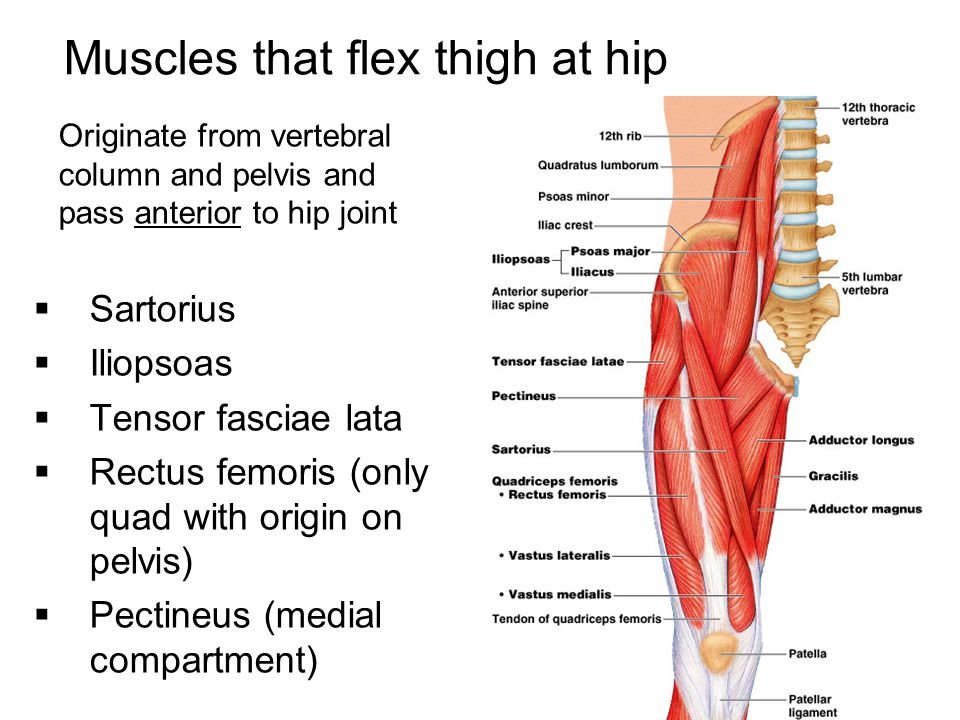 Muscles that flex thigh at hip
