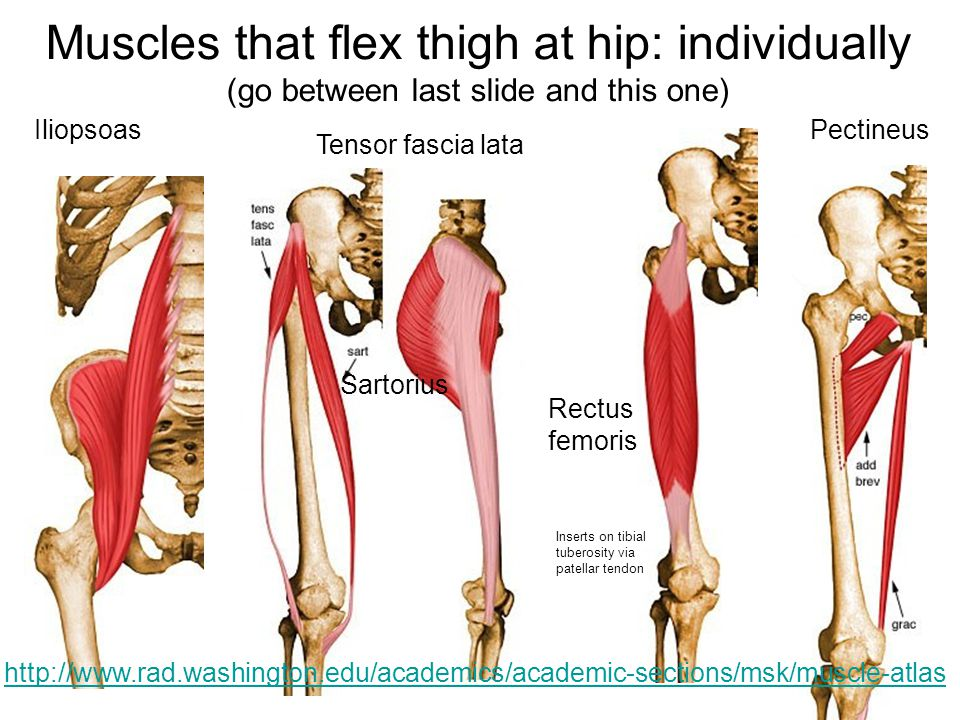 Muscles that flex thigh at hip: individually (go between last slide and this one)