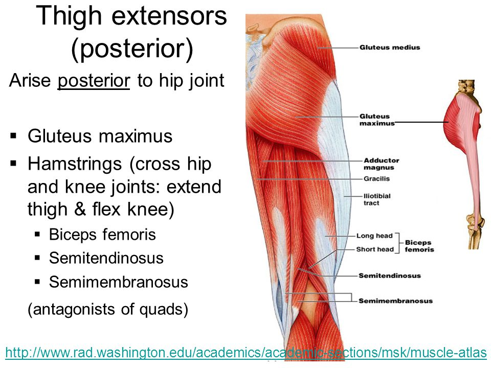 Thigh extensors (posterior)