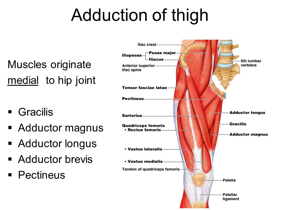 Adduction of thigh Muscles originate medial to hip joint Gracilis