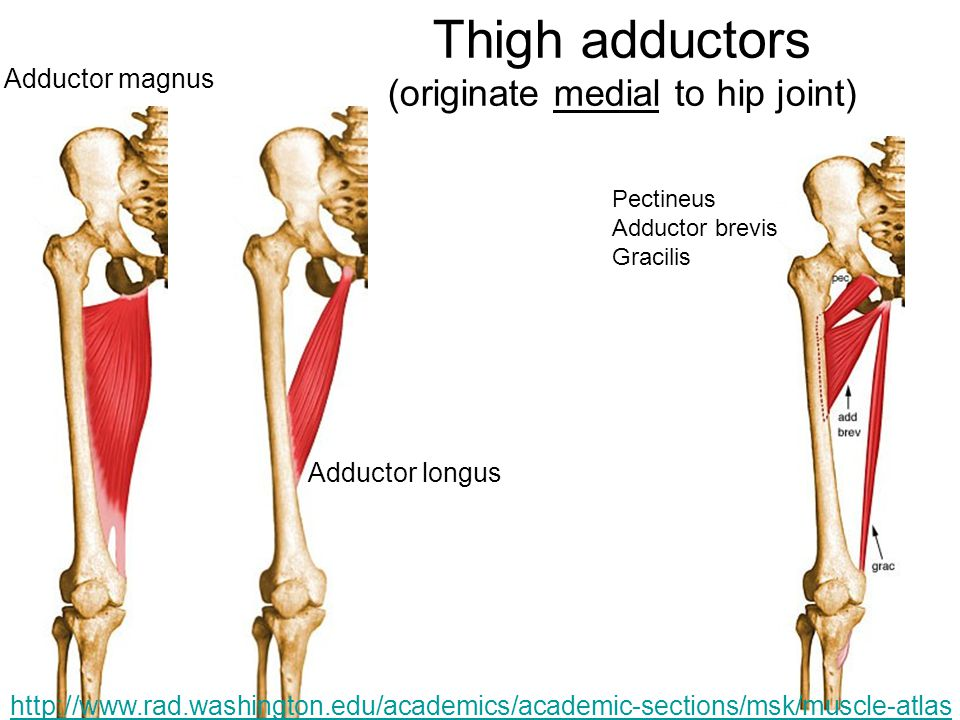 Thigh adductors (originate medial to hip joint)