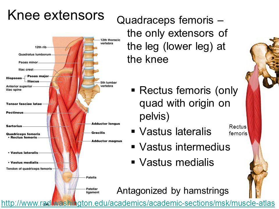Knee extensors Quadraceps femoris – the only extensors of the leg (lower leg) at the knee. Rectus femoris (only quad with origin on pelvis)