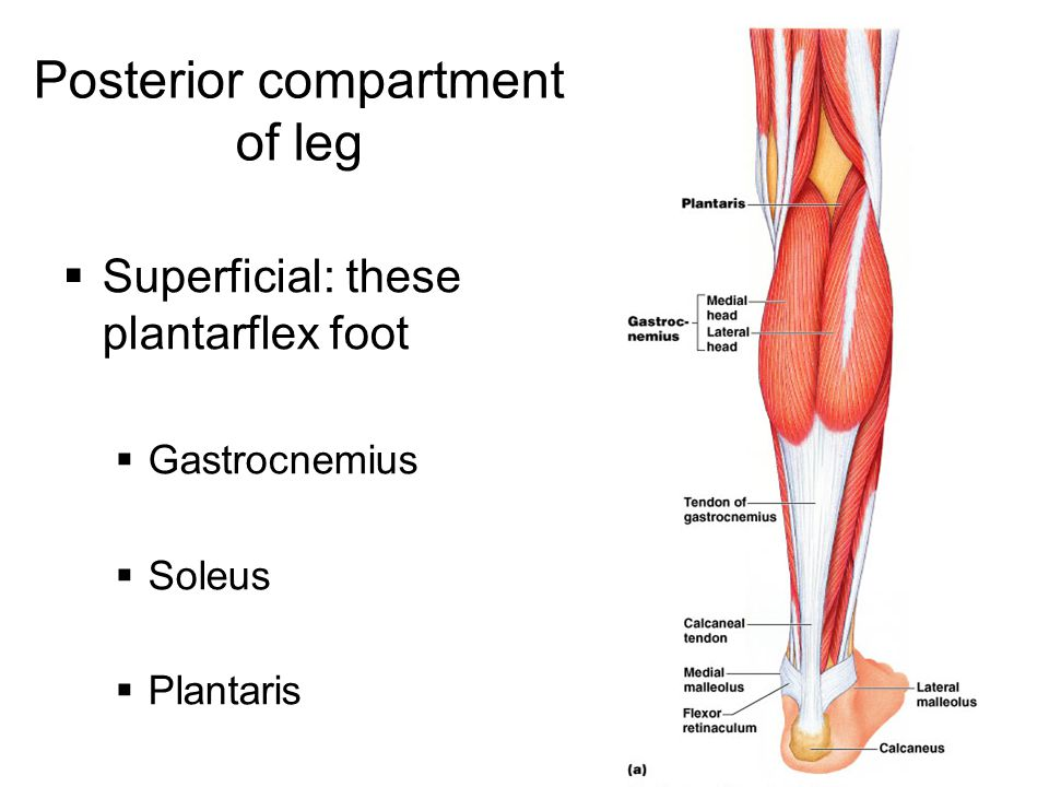 Posterior compartment of leg