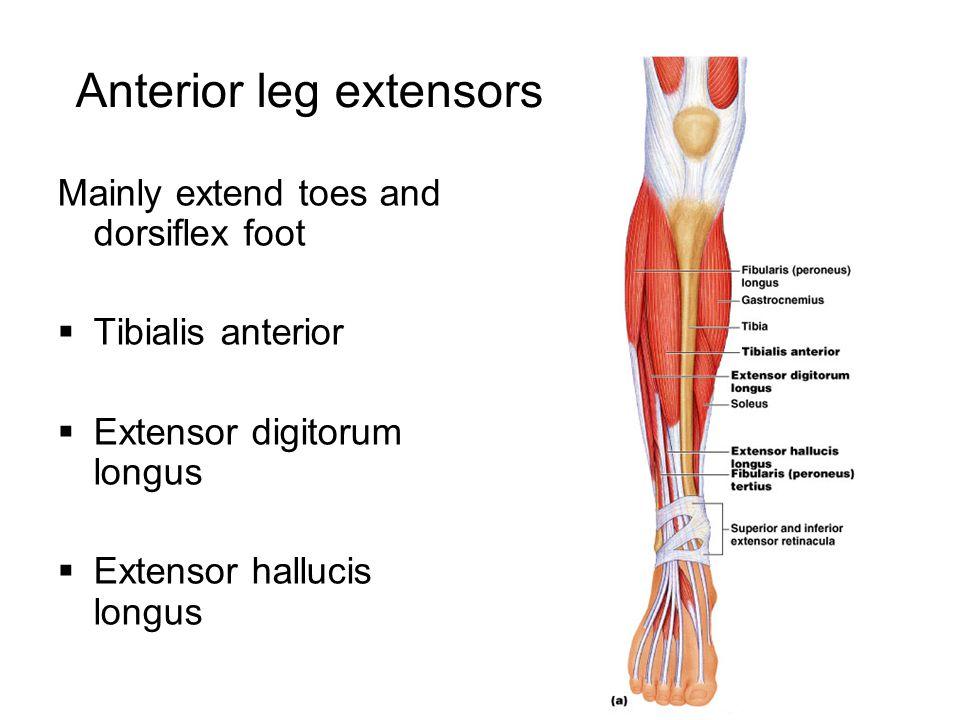 Anterior leg extensors