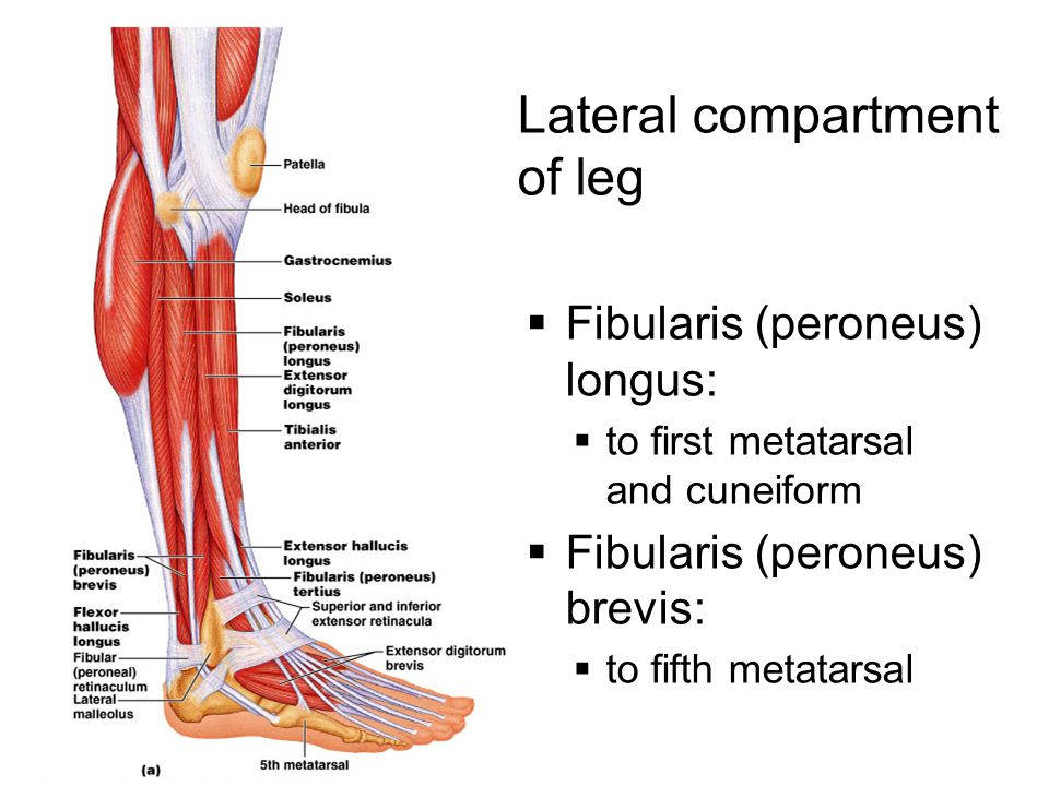 Lateral compartment of leg