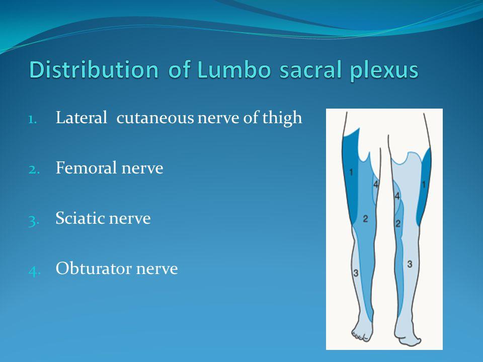 Distribution of Lumbo sacral plexus