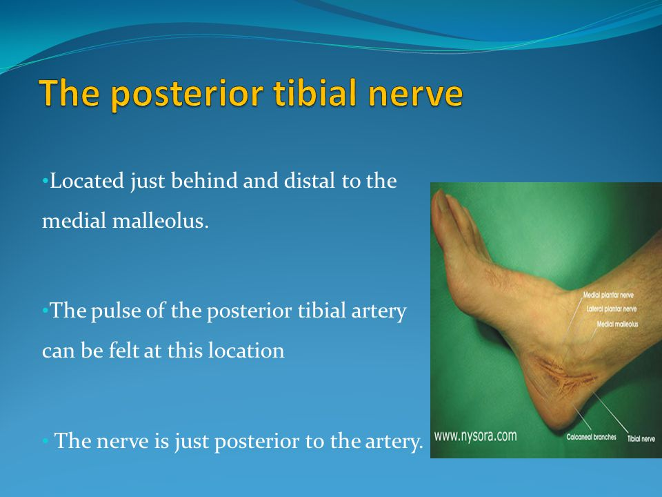 The posterior tibial nerve