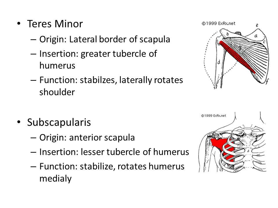 Teres Minor Subscapularis Origin: Lateral border of scapula