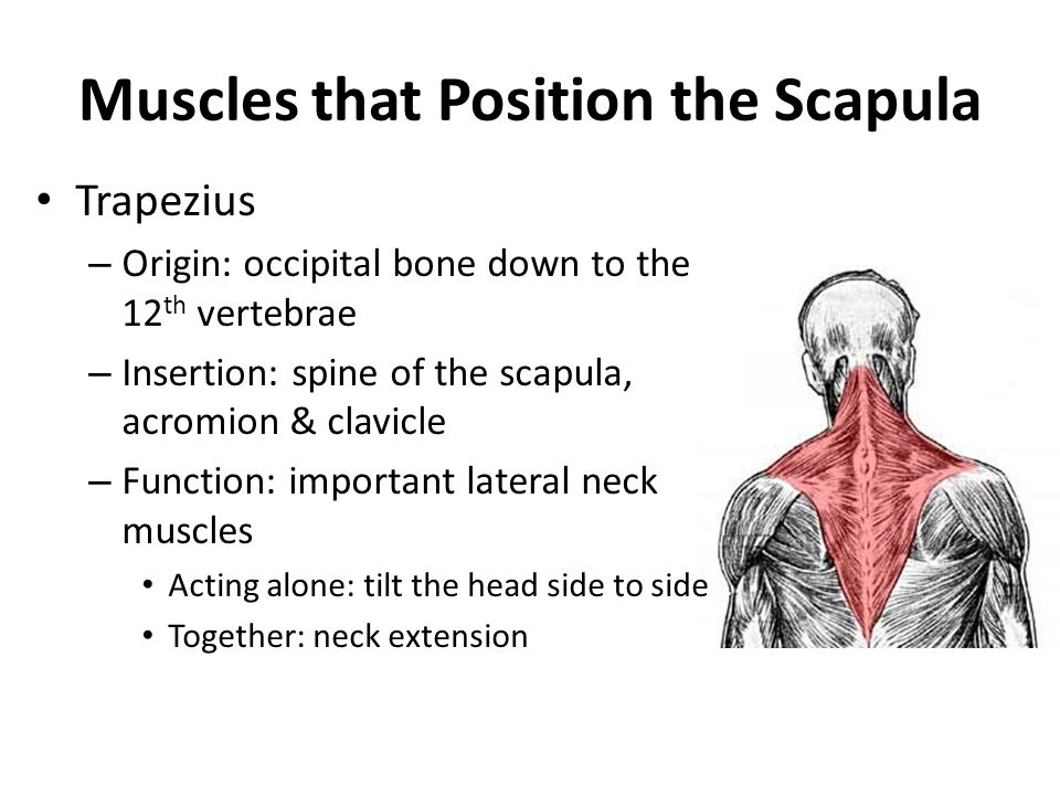 Muscles that Position the Scapula