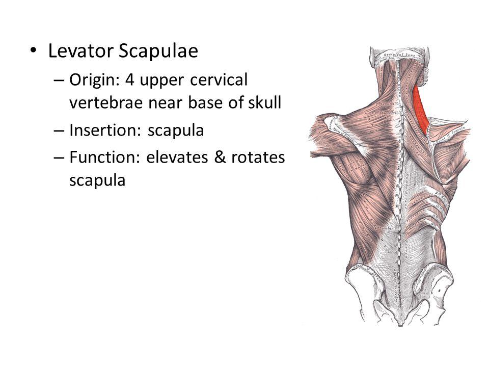 Levator Scapulae Origin: 4 upper cervical vertebrae near base of skull