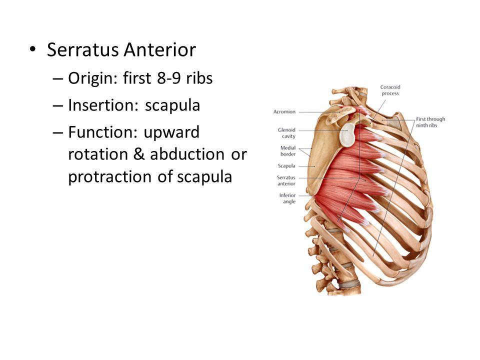 Serratus Anterior Origin: first 8-9 ribs Insertion: scapula