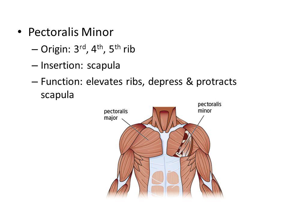 Pectoralis Minor Origin: 3rd, 4th, 5th rib Insertion: scapula