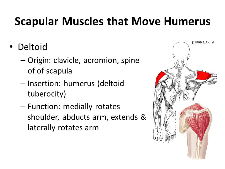 Scapular Muscles that Move Humerus
