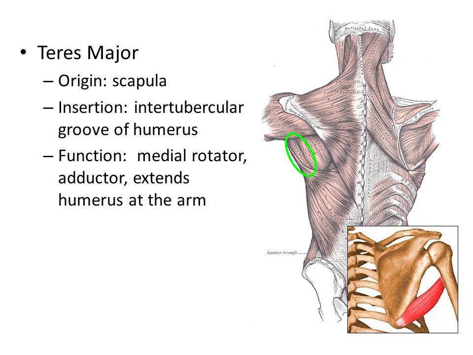 Teres Major Origin: scapula