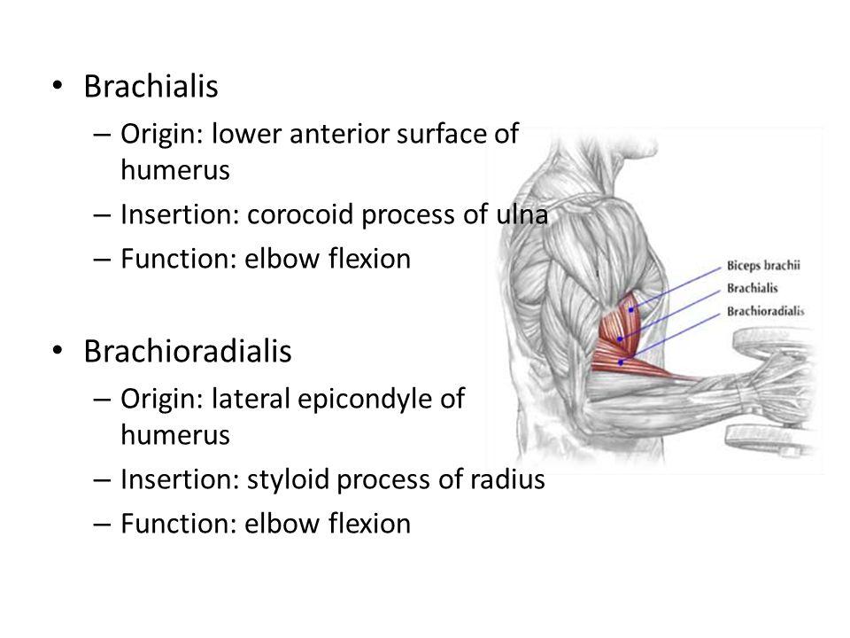 Brachialis Brachioradialis Origin: lower anterior surface of humerus