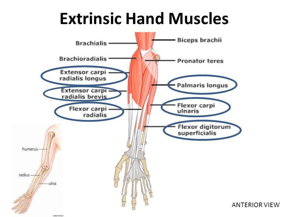 Extrinsic Hand Muscles