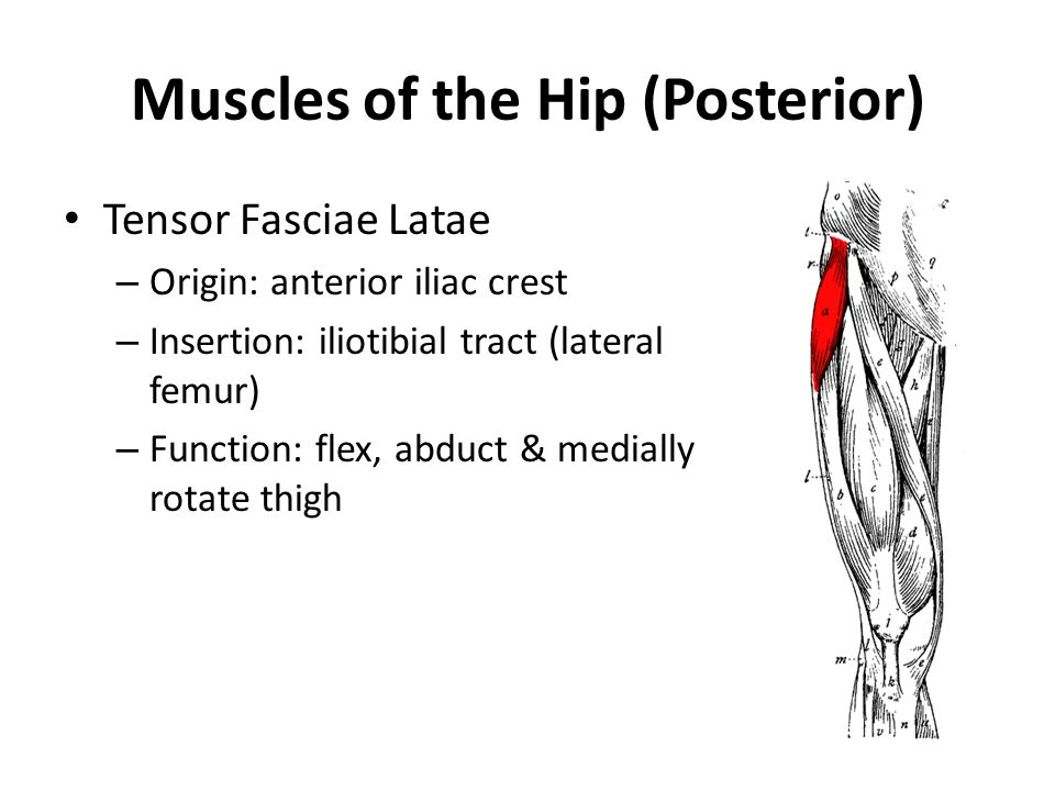 Muscles of the Hip (Posterior)