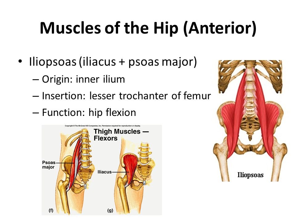 Muscles of the Hip (Anterior)