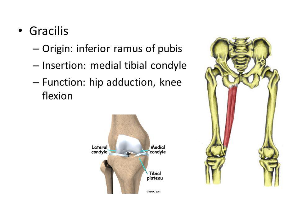Gracilis Origin: inferior ramus of pubis