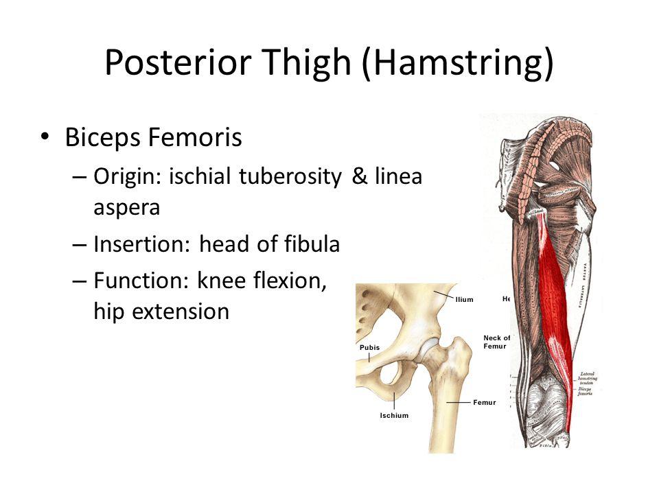 Posterior Thigh (Hamstring)