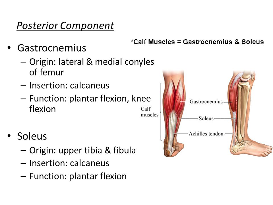 Gastrocnemius Muscle Origin And Insertion Exercise Science The M...