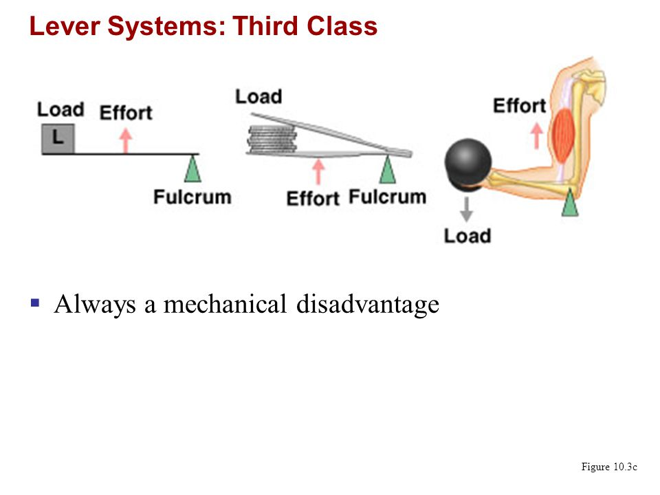 Lever Systems: Third Class