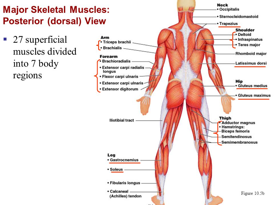 Major Skeletal Muscles: Posterior (dorsal) View