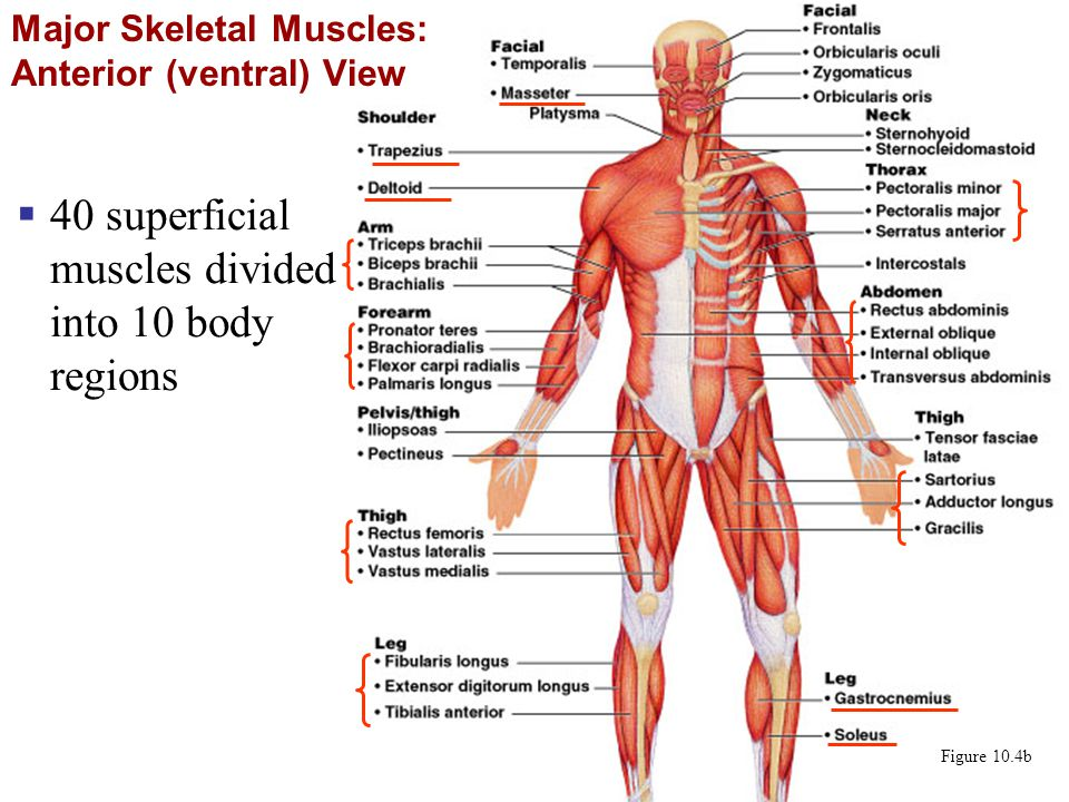 Major Skeletal Muscles: Anterior (ventral) View