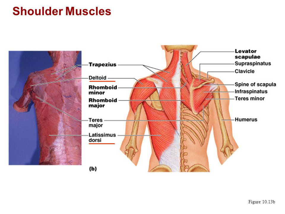 Shoulder Muscles Figure 10.13b