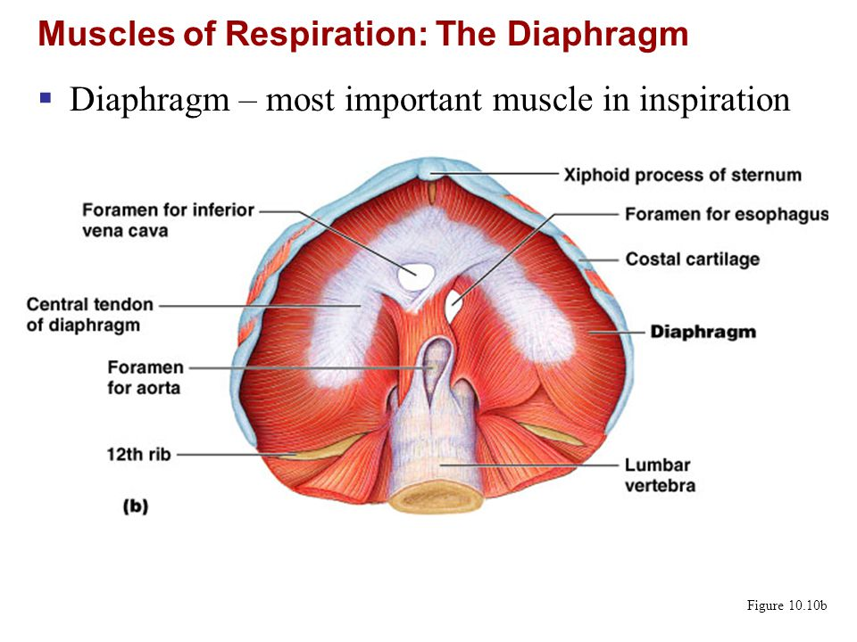 Muscles of Respiration: The Diaphragm
