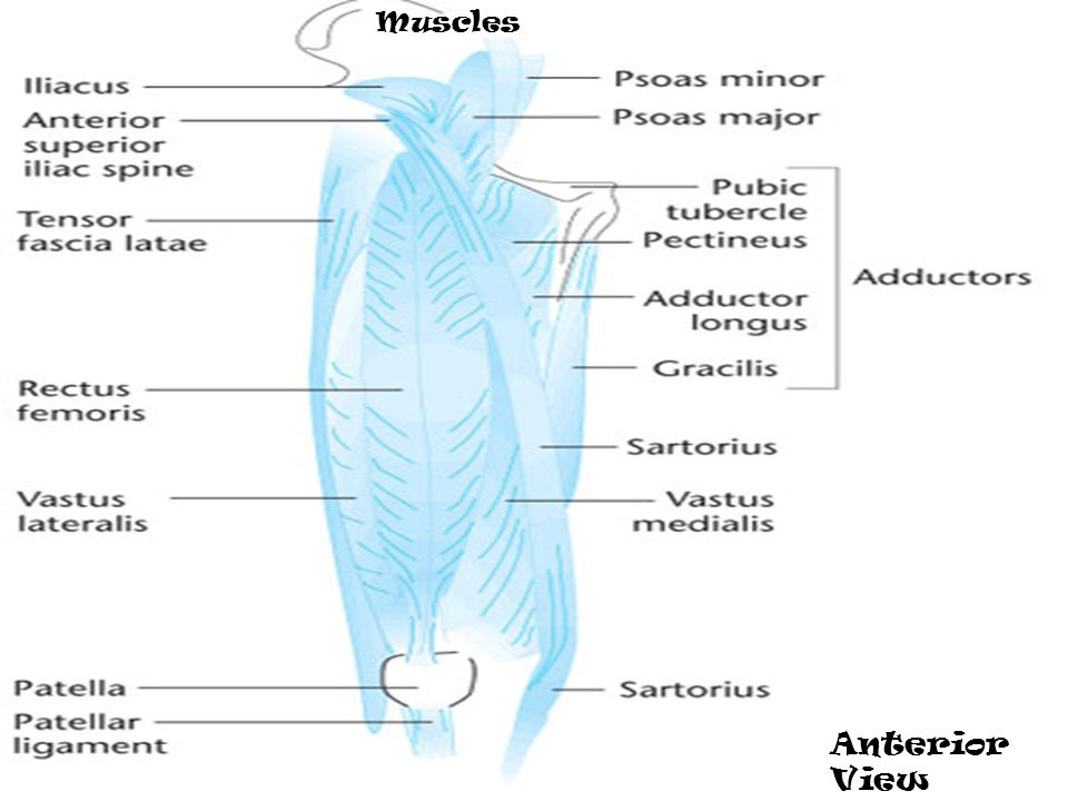 Muscles Anterior View