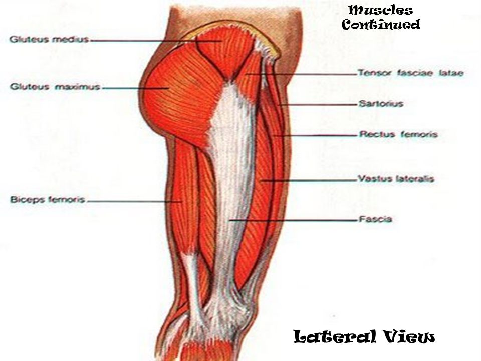 Muscles Continued Lateral View