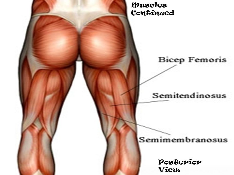 Muscles Continued Posterior View