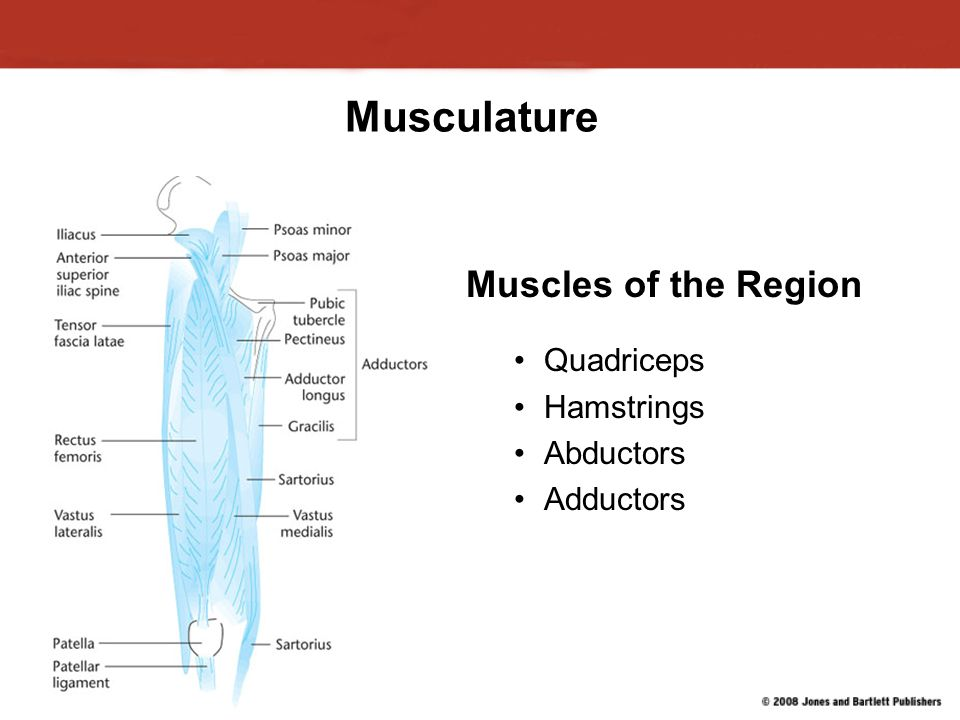 Musculature Muscles of the Region Quadriceps Hamstrings Abductors