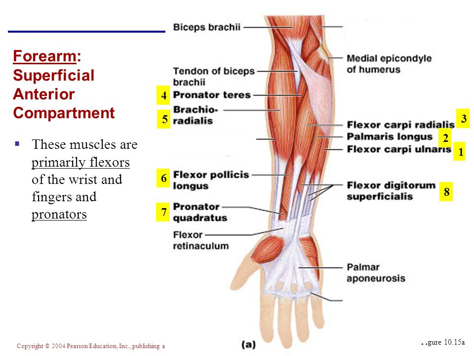Forearm: Superficial Anterior Compartment