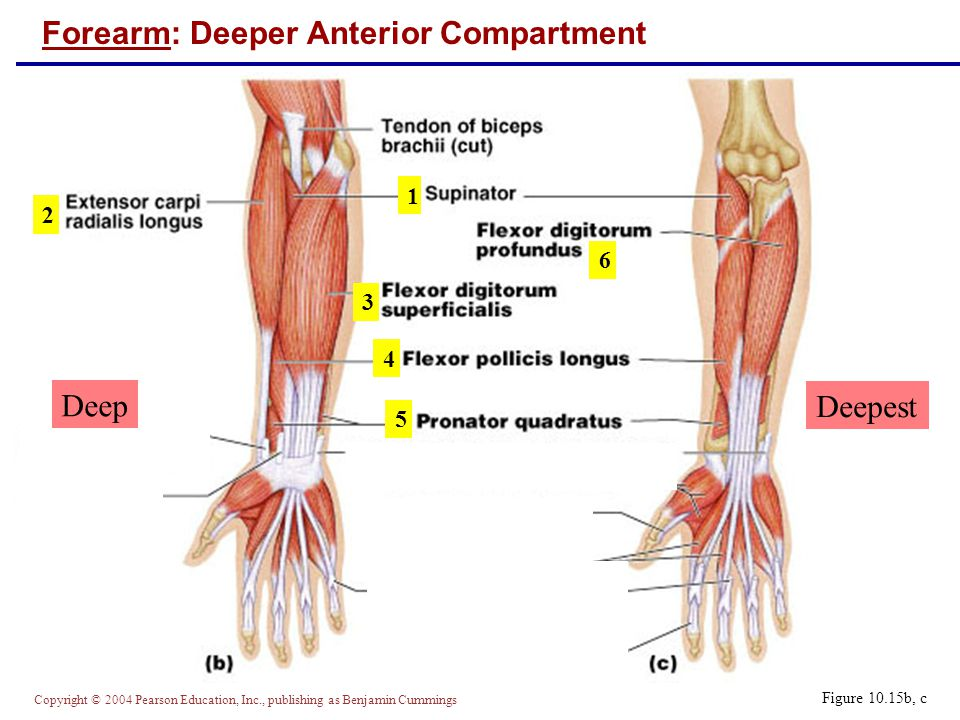 Forearm: Deeper Anterior Compartment
