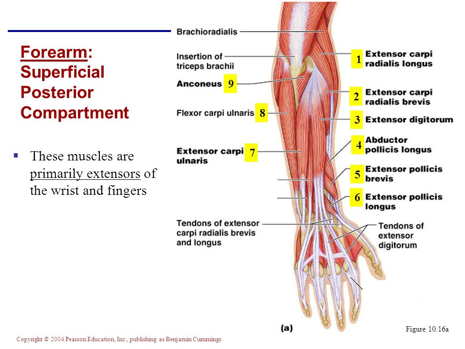 Forearm: Superficial Posterior Compartment