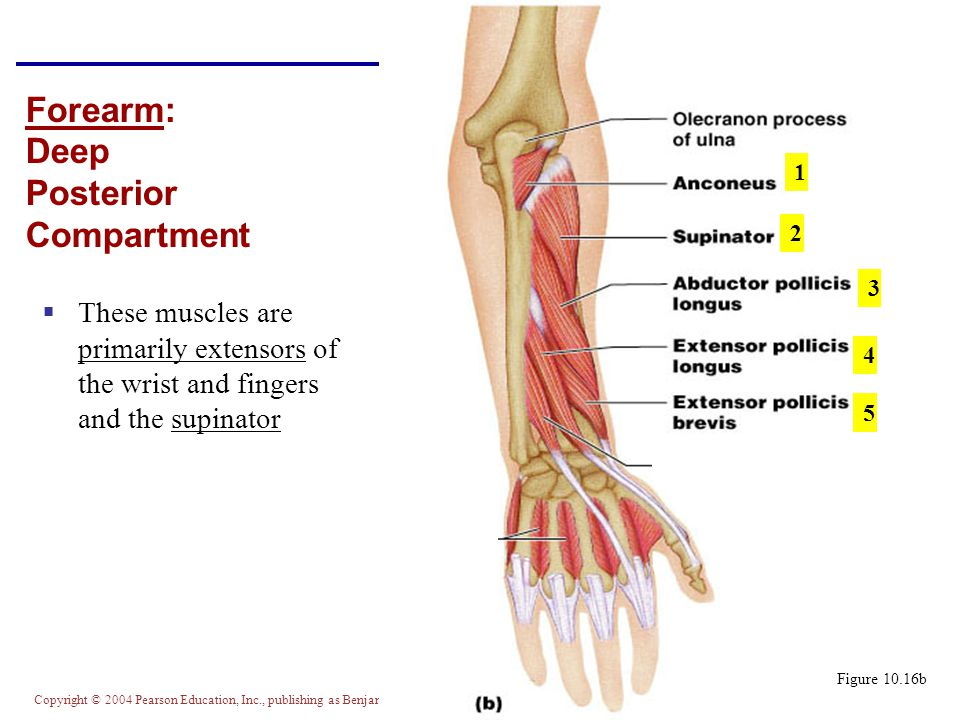 Forearm: Deep Posterior Compartment