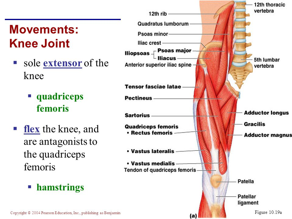 Movements: Knee Joint sole extensor of the knee